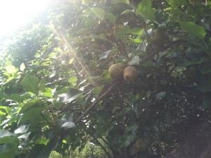 Crisp storage pears