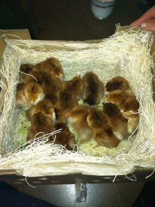 The chicks are in the mail!