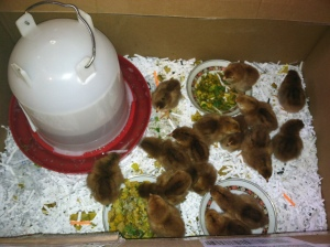 Our chicks in their happy home by the wood stove!