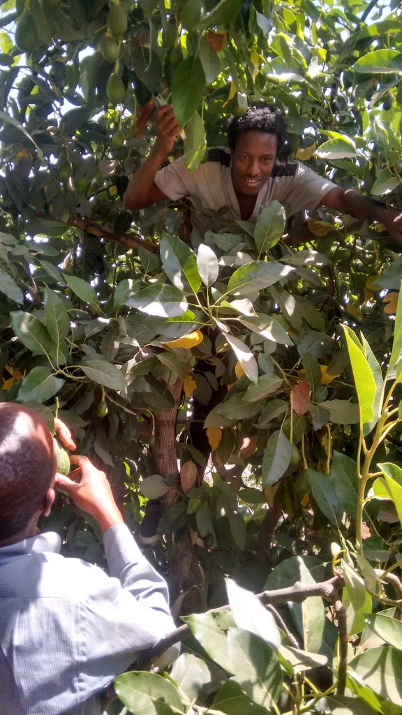 "GreenPath goes beyond the ""Low-hanging Fruit.""  Mohammed harvesting hard-to-reach Ettingers."