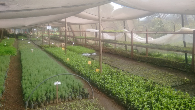 Our Butajira Farmer Service Center nursery, made entirely of local materials, produces 25 different varieties of organic seedlings, over 40% of which are perennial. In a country where most nurseries produce monocrops, this is usually what surprises local visitors the most.